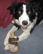 Bordercollied on kõige targemad koerad
