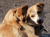 Moskvas tabati koerte saritapja