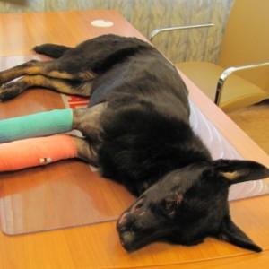 Mitmete luumurdudega 10-kuune päästetud avariiohver koer Bella Mia vajab abi!