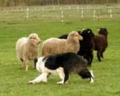 Koerad õpivad lambakarjuse ametit