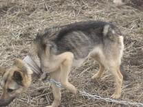 Varjupaik asus päästma näljutatud koera