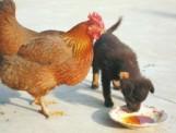 Kana hakkas kahele kutsikale kasuemaks