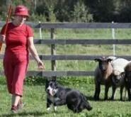 Tark karjakoer on peremehele asendamatu abiline