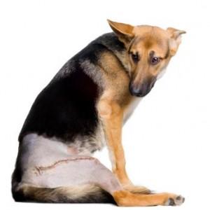 Koera operatsioonijärgne hooldamine