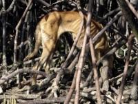 300 Malaisia saarele jäetud koera söövad teineteist