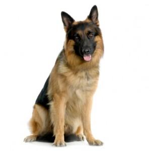 Miks mõned koerad sõna ei kuula?