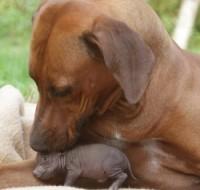 Koer adopteeris minisea poja