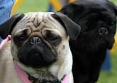 Tartu koertenäitusel näeb ka haruldasi koeratõuge