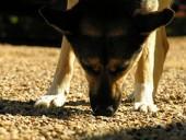Piirivalve ostab 168 000 krooni eest koeri