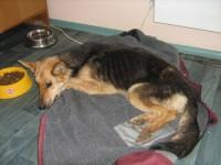 Nälginud koer roomas majapidamisse toidu järele