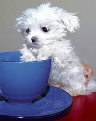 Suri maailma kõige väiksem koer