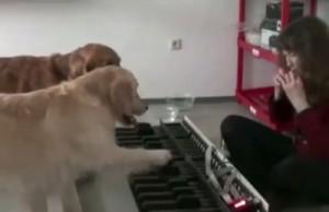 Vahva video:  2 retriiverit tunnevad noote ja mängivad klaverit