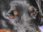 Rottweiler Banderas kaotas koduõuel elu