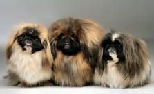 Kennel Terasroos - pekingi koerad