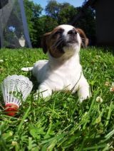 Jack Russell Terjer